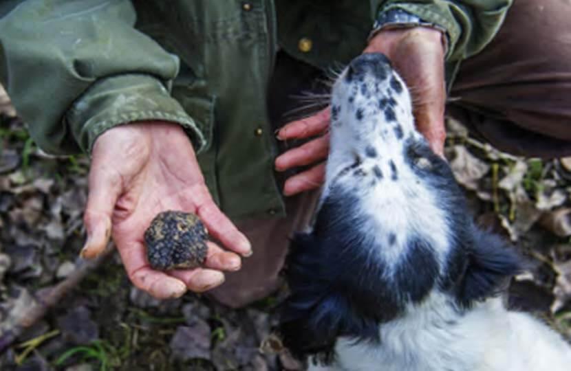 Truffle hunting, Piedmont