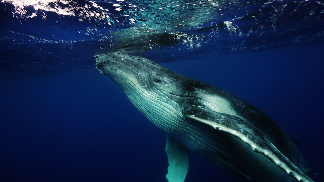 SWIMMING WITH THE HUMPBACK WHALES IN THE KINGDOM OF TONGA