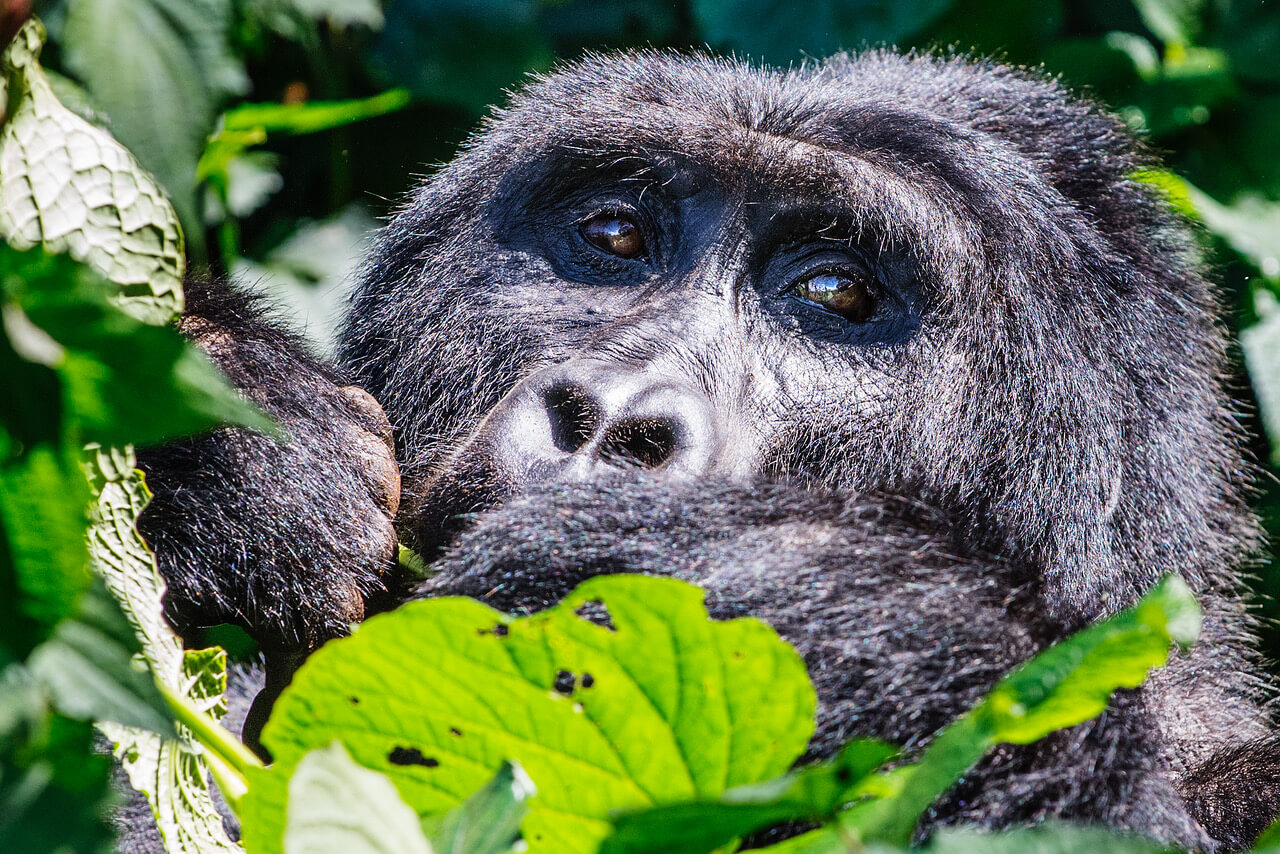THE GORILLAS OF BWINDI IMPENETRABLE FOREST
