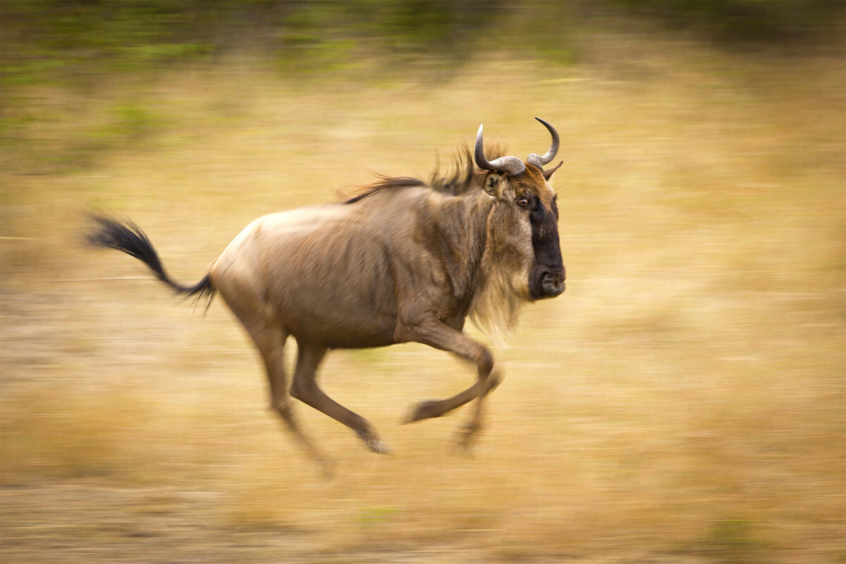 WILDEBEEST MIGRATION – THE GREATEST NATURAL SHOW ON EARTH