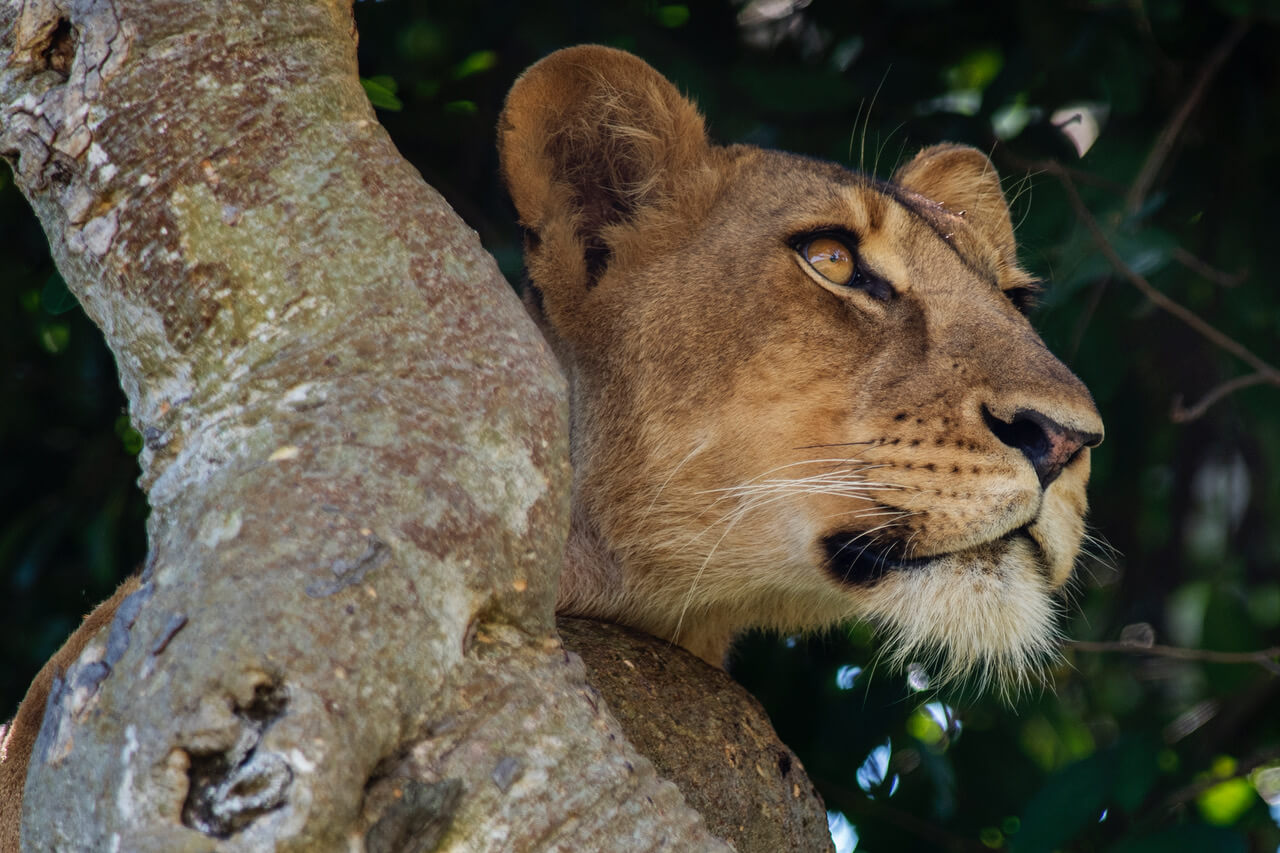 A PICNIC WITH TREE-CLIMBING LIONS IN UGANDA